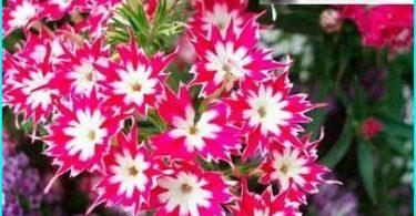 Mēs augt floksis: aug no sēklām, apzaļumošana pavasaris + aprūpi