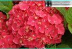 Hortenzijas: noslēpumus stādīšanas un rūpes no pieredzējušu dārznieku