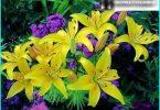 Mēs augt lilijas: stādīšanas un uzturēšanas noteikumiem + noslēpumus dārznieki