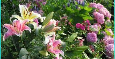 Lilijas ainavu dizains: iespējas stādīšana, šķirņu izvēle