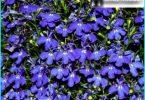 Lobelia: aug no sēklām, stādīšanas un uzturēšanu, stādīšanas dārzā