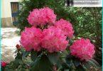Rododendri: stādīšana, audzēšana un apkope, visu par reproducēšanu