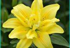Stādīšanas lilijas pavasarī zemē: ieteikumi pieredzējušu dārzi