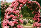 Stādīšanas un aug rozes pavasarī Sibīrijā + izvēlētos hardy šķirnes