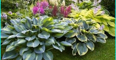 """Hosta ainavu dizains: kā augt """"ēnu Queen"""" savā dārzā"""