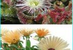 Rotā dārzu ar palīdzību kristāla zāles (mesembryanthemum un Doroteantus)
